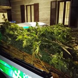 Dongo, tre arresti e una denuncia  per le piantagioni di marijuana