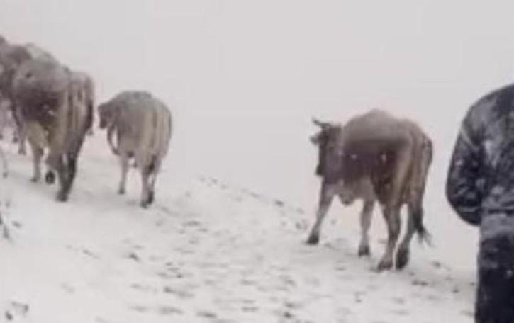 L'antico rito della transumanza  Anche sotto la neve (VIDEO)