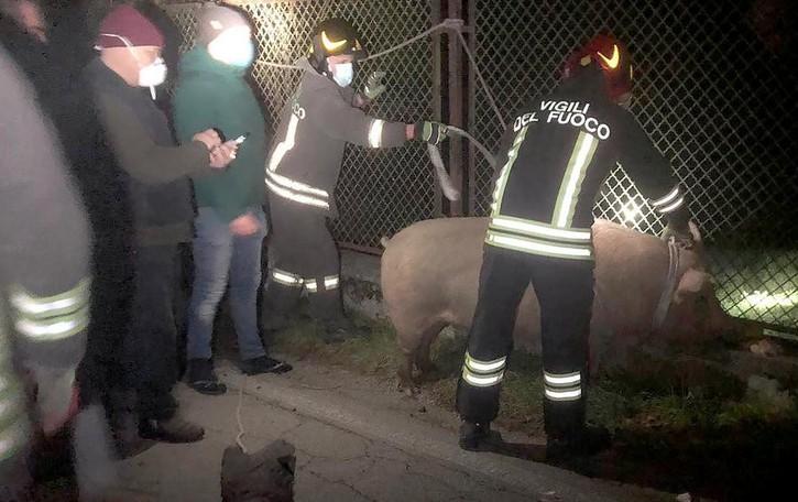Monguzzo, scrofa in fuga  Fermata dai vigili del fuoco