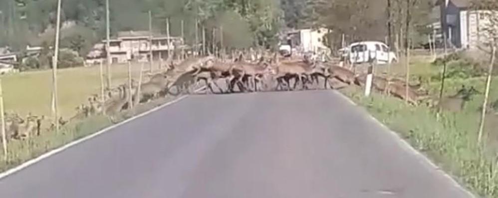 Sorico, 210 cervi sono di troppo  Previste catture e abbattimenti