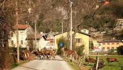 Tremezzina, abbattuti 200 cervi in meno  I cacciatori: «Aumenteranno i pericoli»