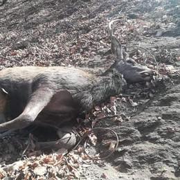 Orrore a Lanzo, bracconieri crudeli  Due cervi uccisi utilizzando i lacci