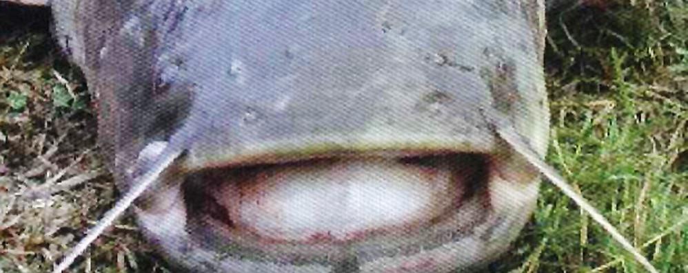 Lago, è crisi pure nelle reti  Aumentano pesci siluro e coregoni