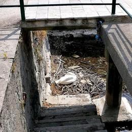Griante, spariti cigno e uova  Forse sono stati rubati