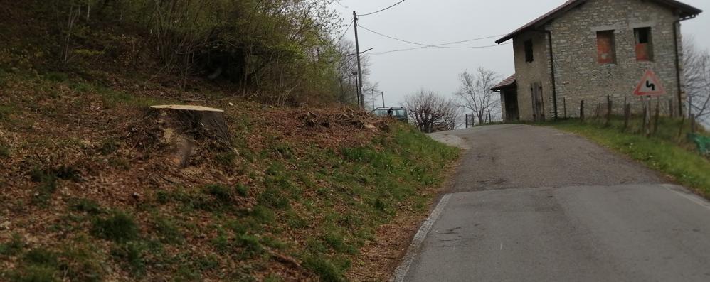 Pericolosi per il traffico  Due tigli vecchi di secoli  tagliati dalla Provincia