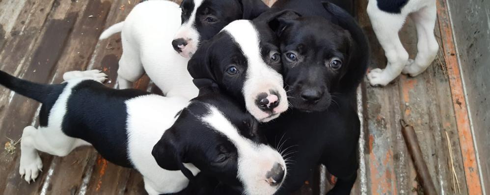 Alzate, sette cuccioli  abbandonati nei boschi