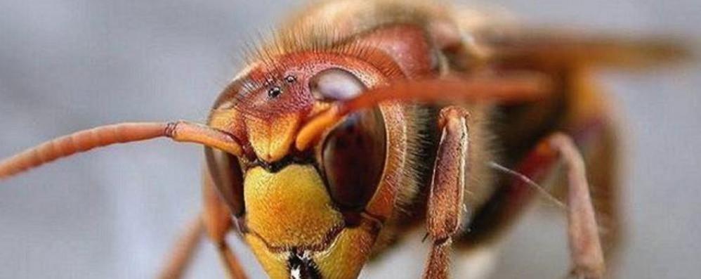 Boom di calabroni giganti nel Comasco  L'esperto: «Uccideteli, sono pericolosi»