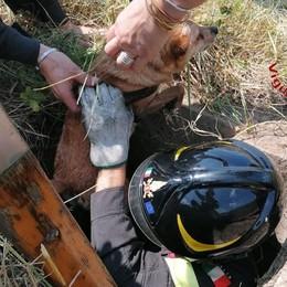 Cagnolino salvato dai pompieri  Lipomo, imprigionato nel pozzo