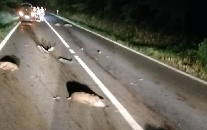 Due auto si scontrano con il branco  Morti dieci cinghiali, salve le persone