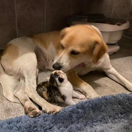 Il cuore del cane Sofia  Allatta una gattina