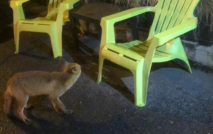 Valle Intelvi, la volpe all'apericena  C'è un nuovo cliente a San Fedele
